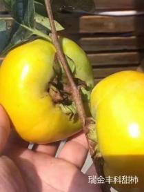 瑞金大秋甜柿