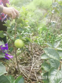 大秋甜柿种植