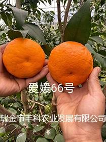 宜春爱媛66号